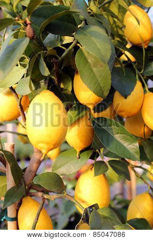 Ripe Lemons In The Tree Of The Orchard