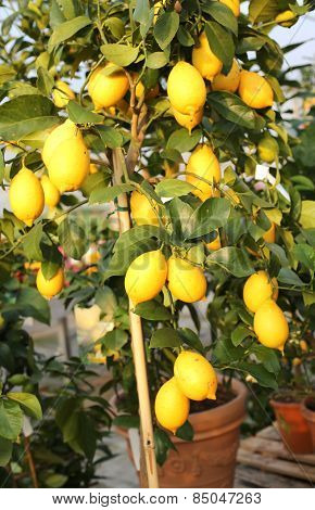Yellow Ripe Lemons In The Tree Of The Orchard