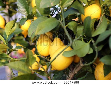Lemons In The Tree Of The Orchard Of The Mediterranean European Country