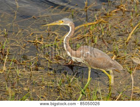 Non-Breeding Tricolored Heron in Florida
