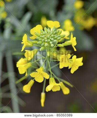 Flowering Mustard.