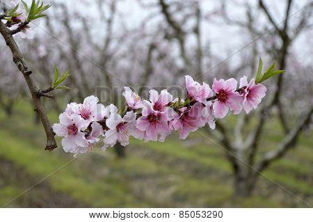 Nectarine Blossom Tree