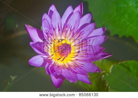 Purple Lotus Flower Beautiful Lotus.