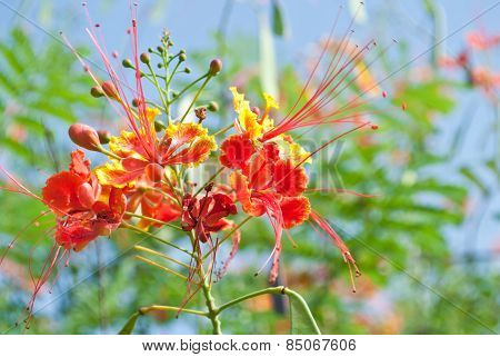 Caesalpinia Pulcherrima Sw. Tropical Plant Tree With Colorful Flowers In Red, Orange And Yellow Unde