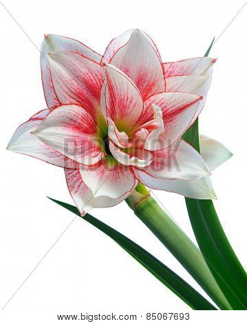 blooming amaryllis macro isolated on white background