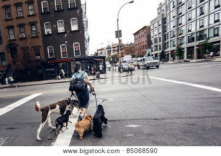 Woman crossing road with dogs