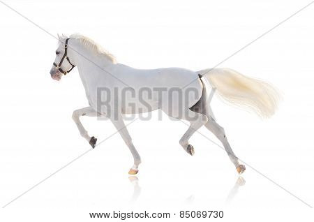 The white running horse on white background