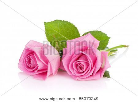 Two pink rose flowers. Isolated on white background