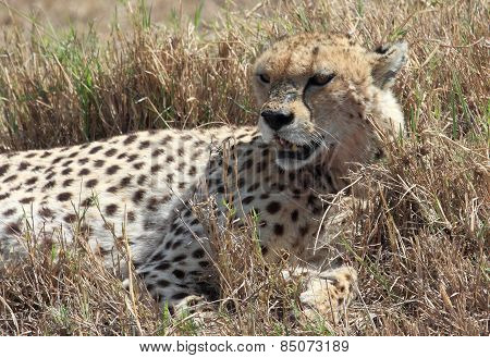 cheetah in the savannah