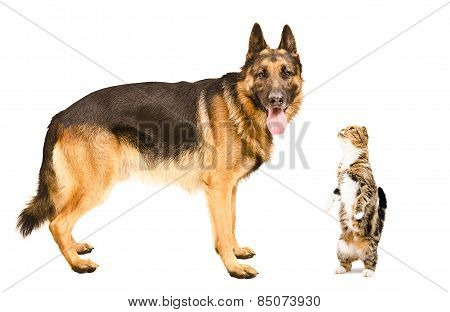 German Shepherd dog and cat Scottish fold