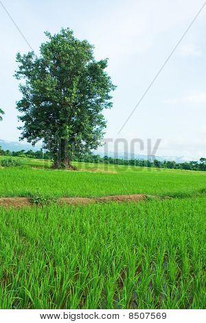Green rice fields.