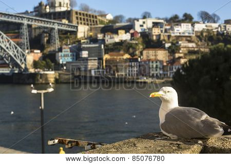 Seagull sits in Ribeira - Porto, Portugal. Douro river and Dom Luis I Bridge at blur in background.