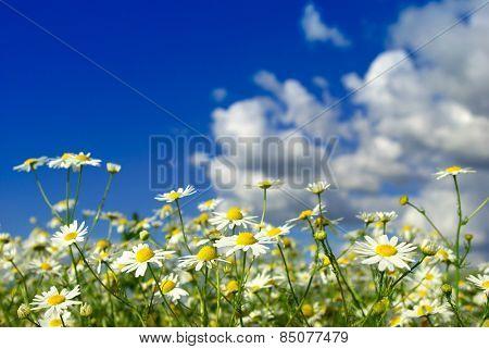 camomiles flowers on cloudy sky