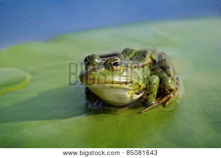 Big Green Frog Sitting On A Green Leaf Lily