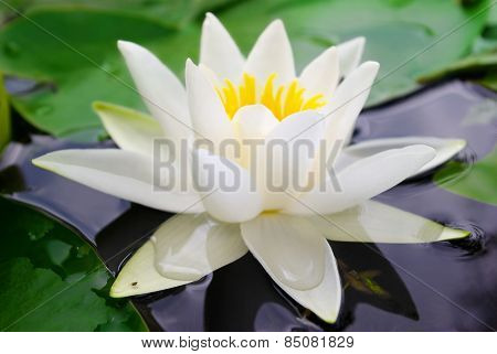 White Lily Blooming Lake On The Background Of Green Leaves