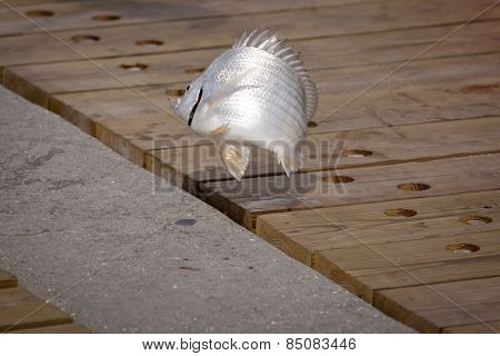 A small silvery white fish with hook in mouth flips in the air on the wooden boardwalk after being caught by a fisherman, fish out of water concept.