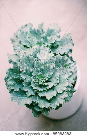 Gardening indoor plant flowering kale in a pot