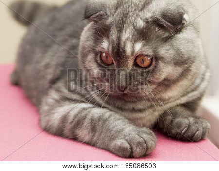 Scottish Fold Kitten Gray-blue Color On A Pink Veil Lies.