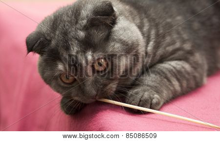 Scottish Fold Kitten  Gray-blue Color  .