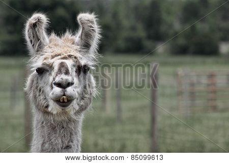 Llama Lamma Ding Dong