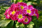 pic of primrose  - Flowering red and yellow bicolor primrose on a potted plant in a nursery - JPG