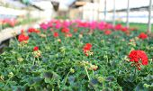 picture of geranium  - blooming geranium plants in the greenhouse in spring - JPG