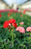 picture of geranium  - red geranium flower in the greenhouse in spring - JPG