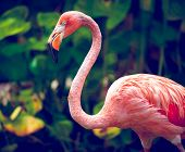 picture of pink flamingos  - Pink flamingo close - JPG