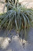 picture of house plants  - Spider plant beautiful large house plant in a pot - JPG