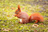 pic of hazelnut tree  - Red squirrel eating hazelnut in the park - JPG