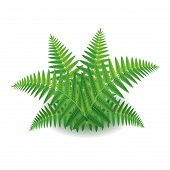 picture of fern  - Fern isolated on white photo - JPG
