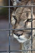 picture of panther  - Close up view of the face of a Florida Panther staring into the distance - JPG
