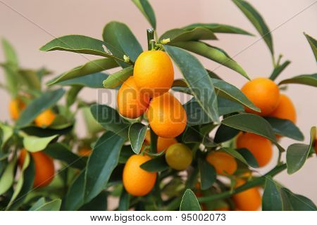 Orange Kumquat