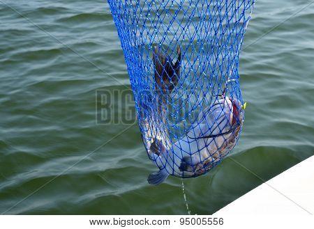 Catfish on the line