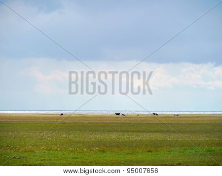 Irkutsk Region. Goloustnoe. Siberian Nature. Cows Graze On The Shore Of Lake Baikal.