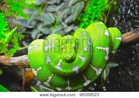 Green Boa