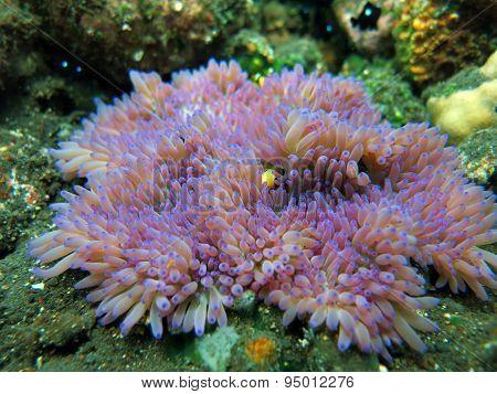 Actiniaria Marine Plant Coral Bali