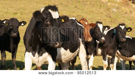 Friesian Cattle