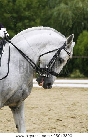 Headshot Of A Grey Dressage Sport Horse In Action