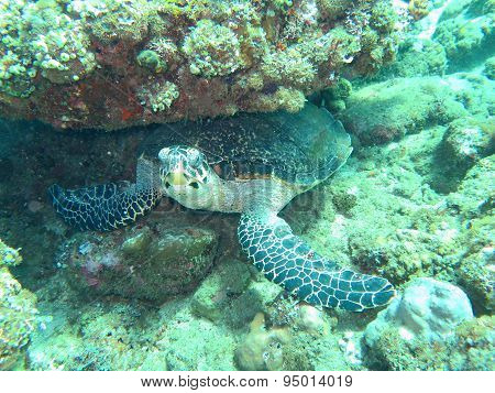 Hawksbill  Sea Turtle   Current On Coral Reef  Island, Bali.