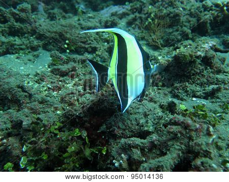 Thriving  Coral Reef Alive With Marine Life And  Tropical Fish (moorish Idols), Bali.