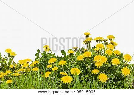 Yellow dandelion flowers on a white background in the spring