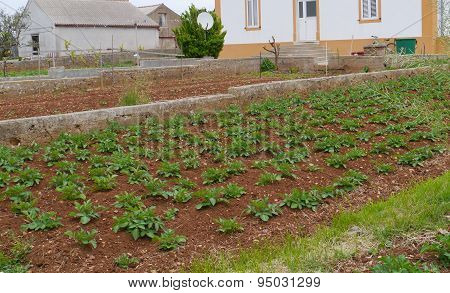 A kitchen garden on the red Croatian earth