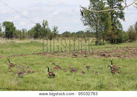 Canada Geese & Goslings in field