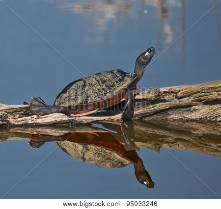 Painted Turtle Basking
