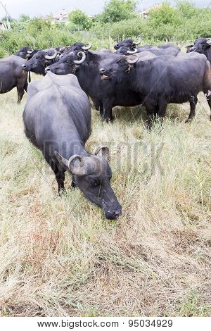 Buffalos In A Dairy Farm