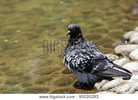 Pigeon Bathing In Hot Weather
