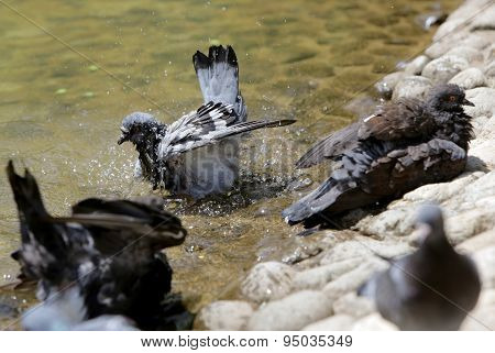 Pigeons Bathing In Hot Weather