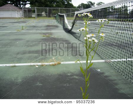 Daisy In Tennis Court