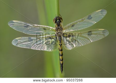 Calico Pennant Dragonfly Celithemis Elisa